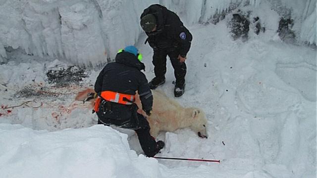 Белых медведей стали чаще убивать при самообороне