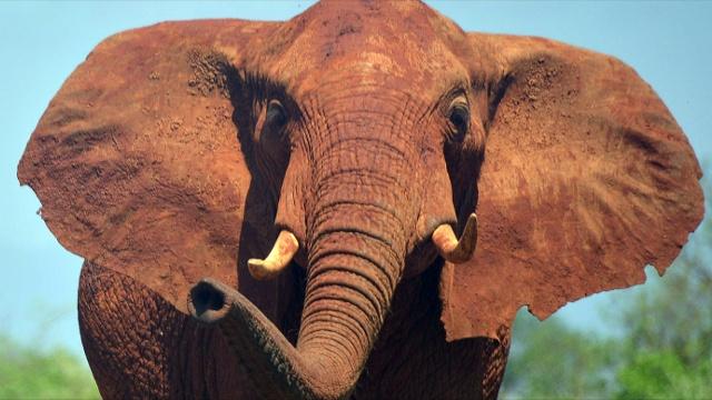 Африканских слонов становится меньше из-за браконьеров