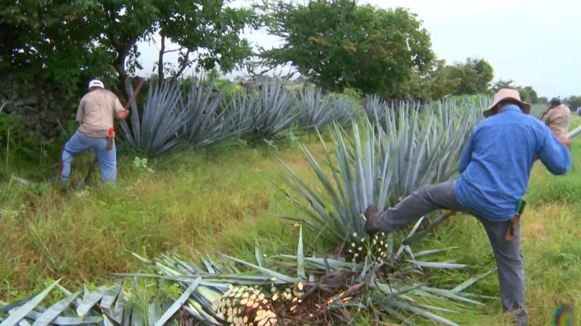 Производству текилы угрожает низкая зарплата сборщиков агавы