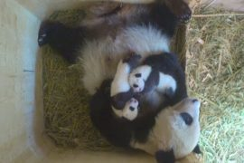 Зоопарк Вены выбирает имя для детёныша панды