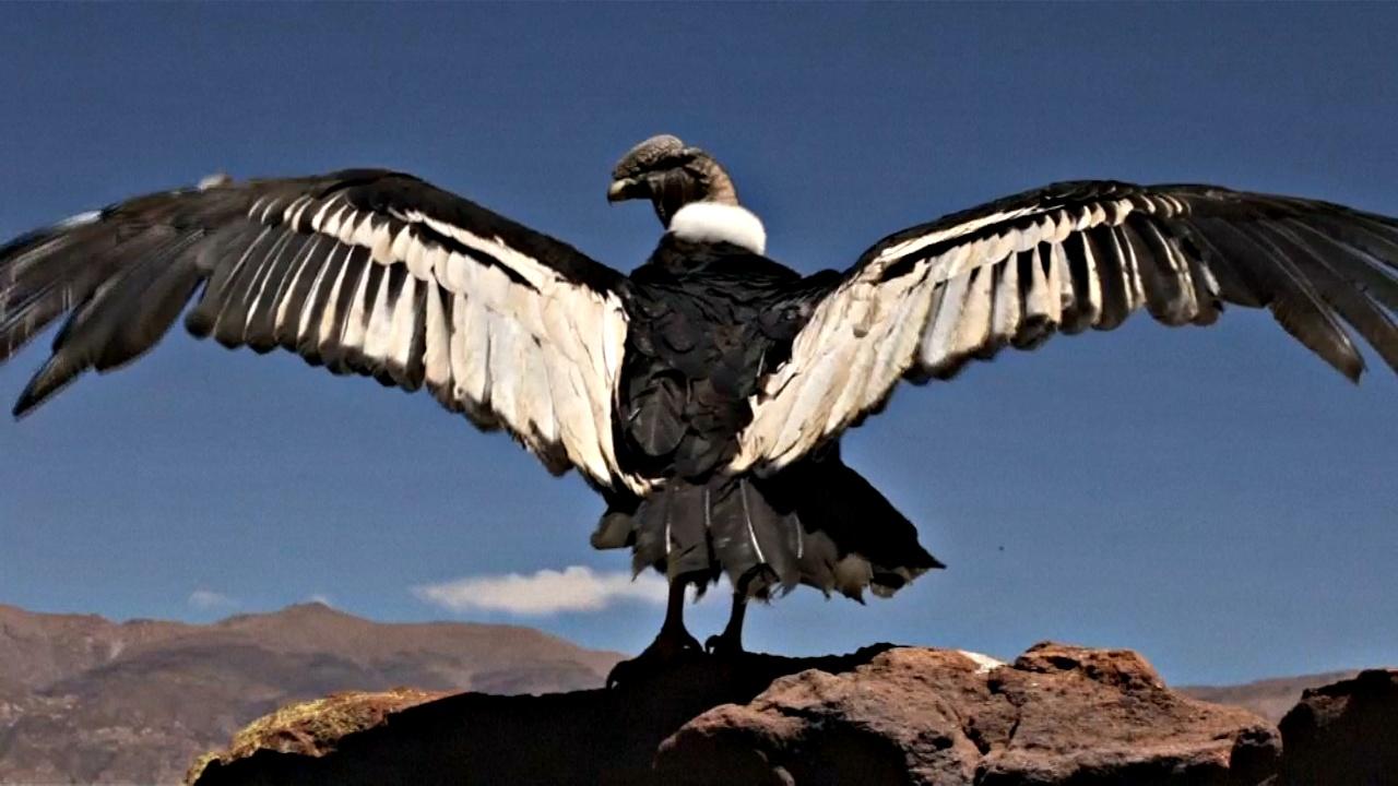 В Аргентине выпустили на волю спасённого кондора