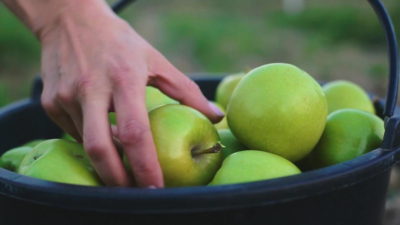 Снизятся ли в России цены на яблоки?