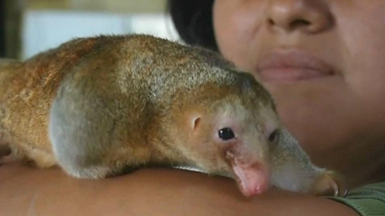 Карликовый муравьед: новоселье в зоопарке Перу