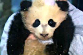 Панда из зоопарка Вашингтона отправится в Китай
