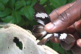 Кенийцы разводят бабочек, чтобы заработать на жизнь
