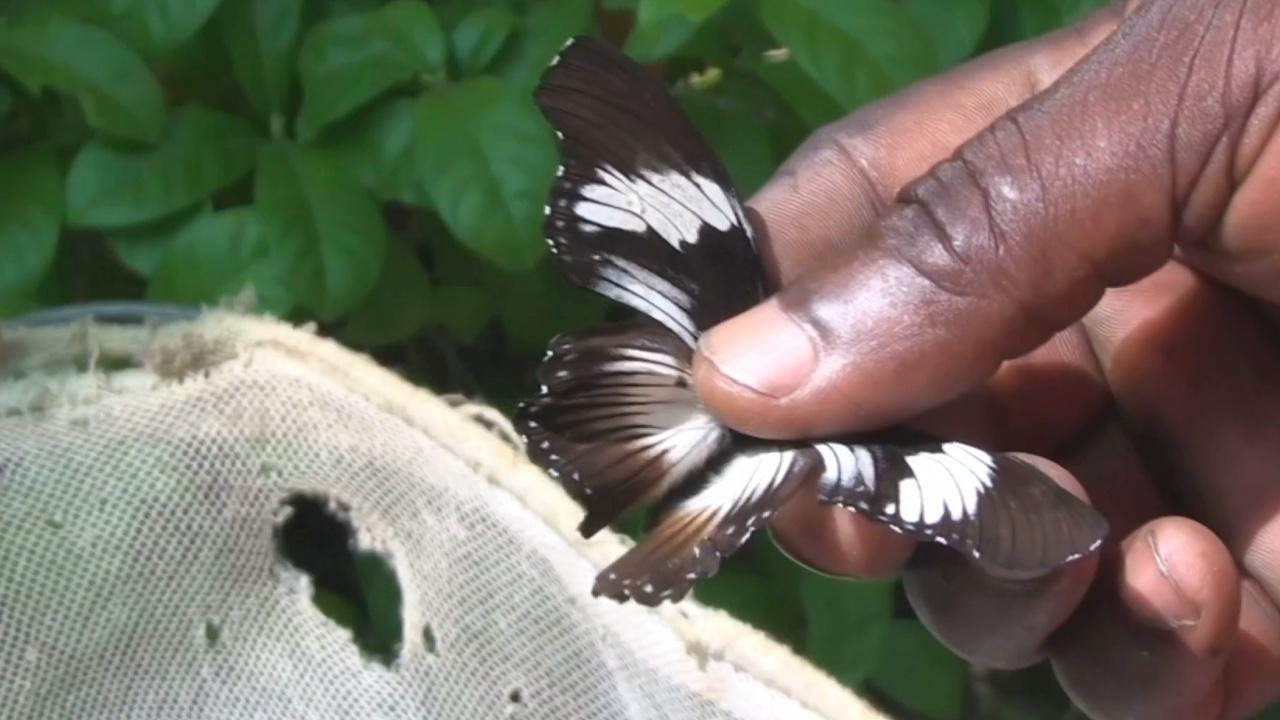 ловля редких бабочек