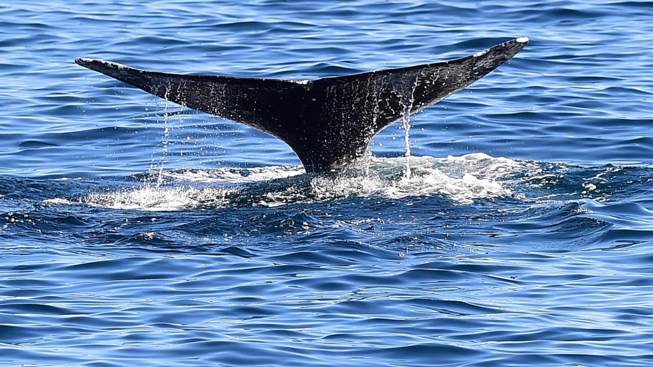 Китового заповедника в Южной Атлантике пока не создадут