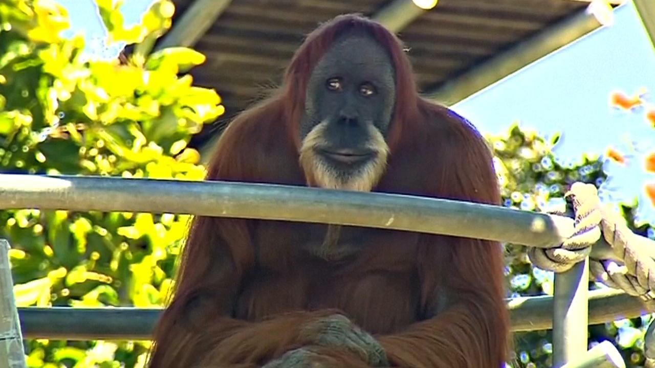 Старейший суматранский орангутан живёт в Австралии