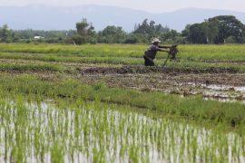 Выращивать рис Жасмин в Таиланде стало невыгодно
