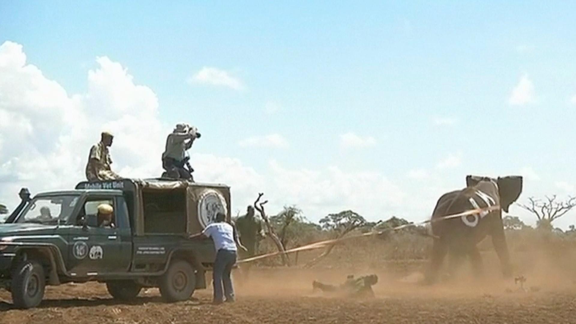 Радиоошейники для слонов помогут предотвратить конфликты
