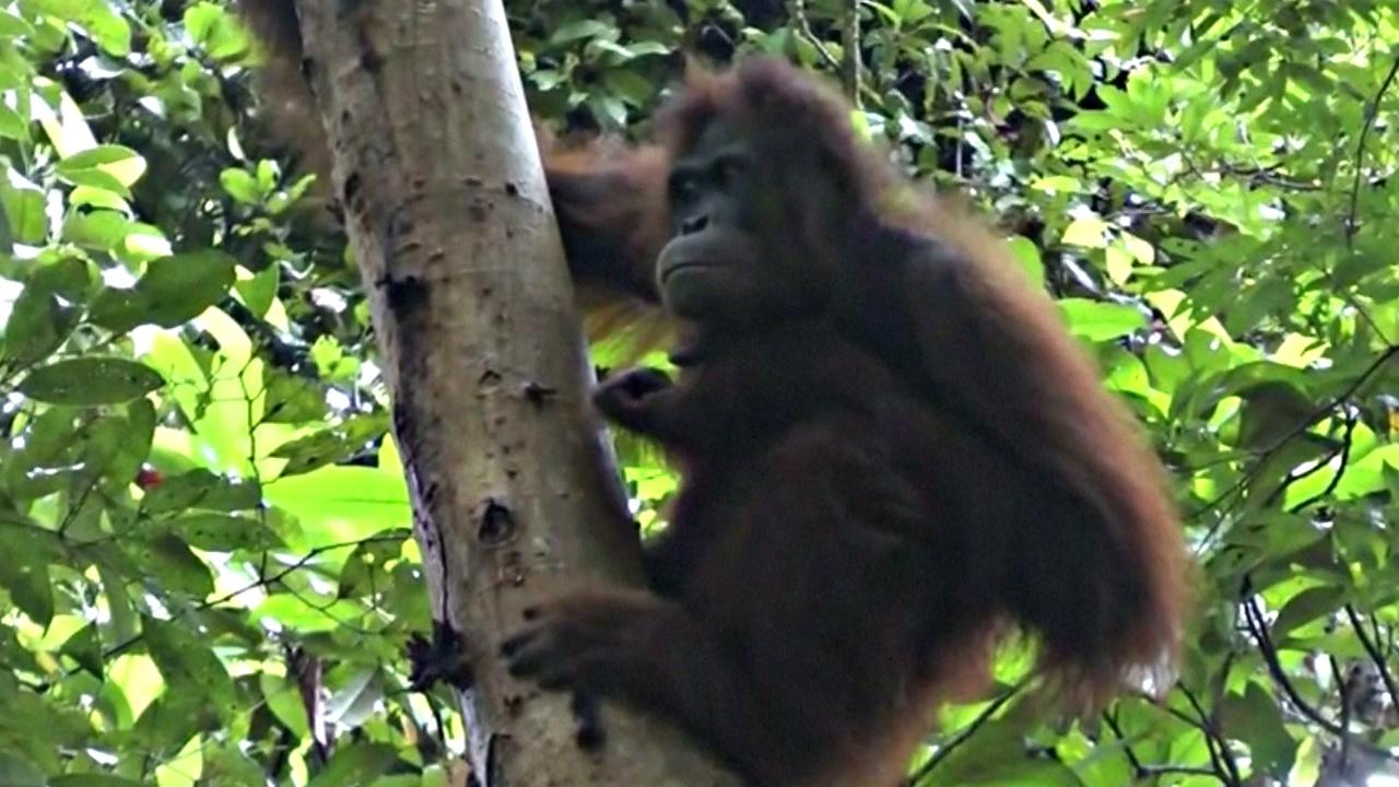 12 спасённых орангутанов готовят к жизни на свободе