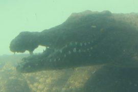 Поплавать с крокодилами предлагают в ЮАР