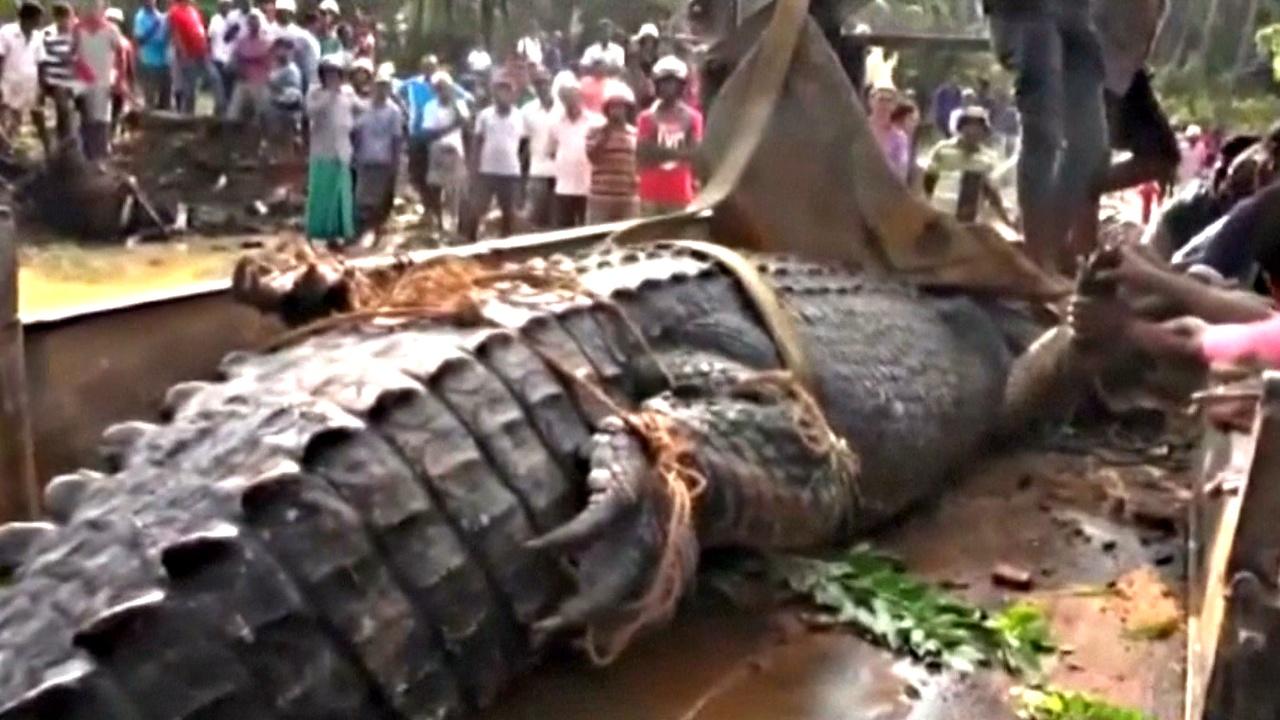 На Шри-Ланке спасали 5-метрового крокодила
