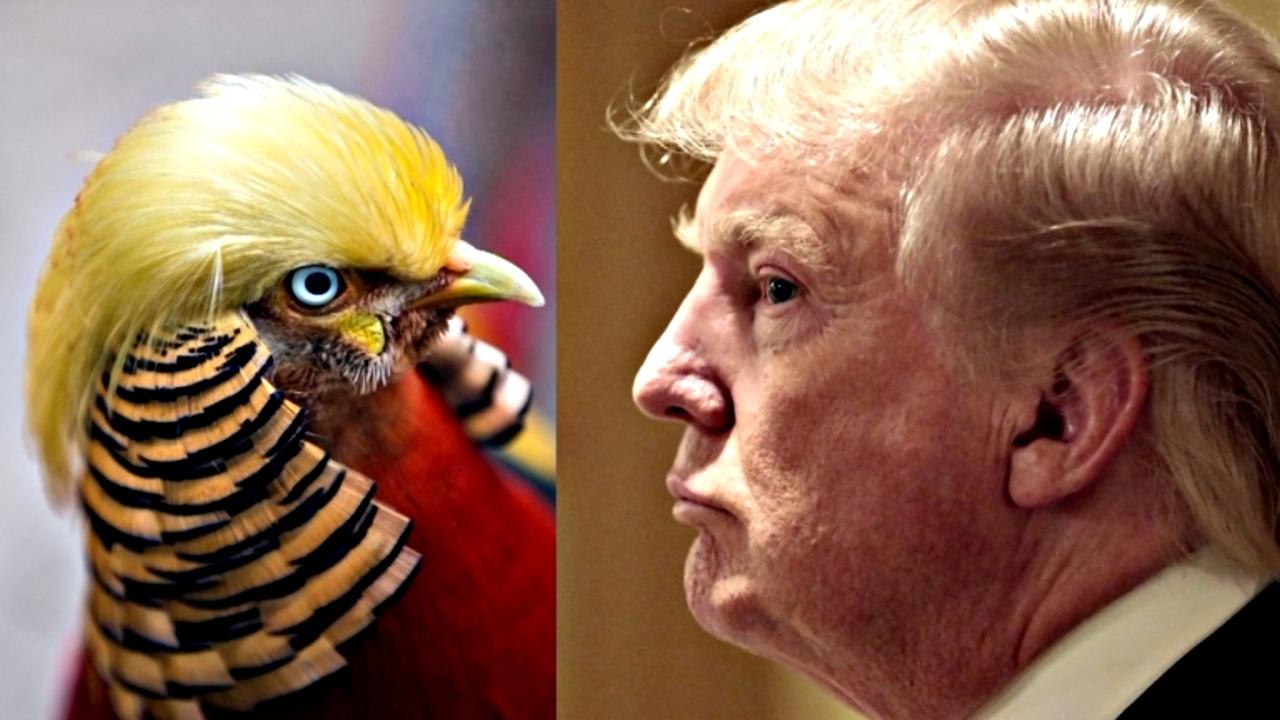 Между Трампом и золотым фазаном нашли схожие черты