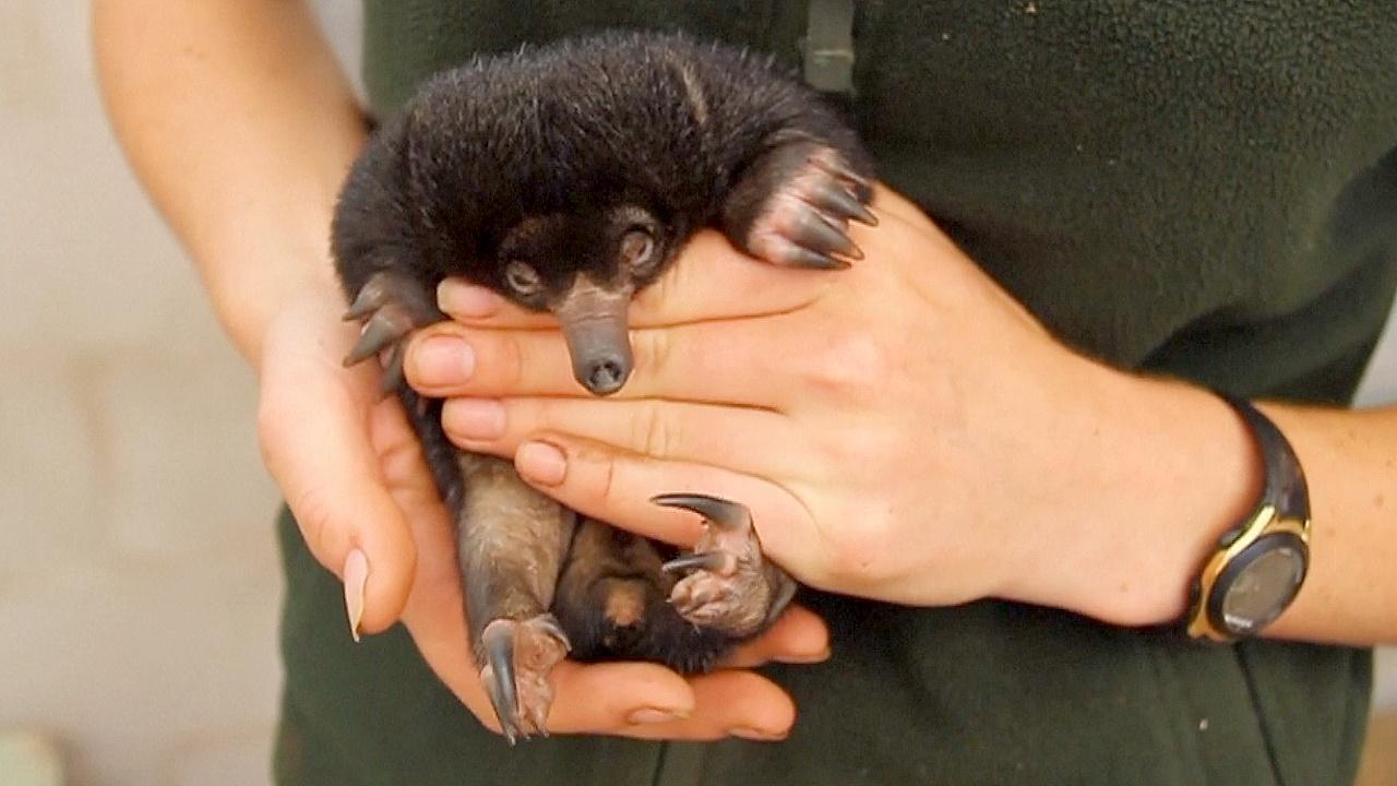 В зоопарке Сиднея впервые за 30 лет родились ехидны