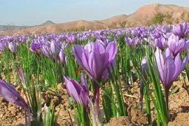 Шафран — в помощь экономике Афганистана