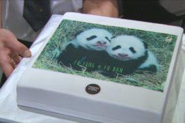 Детёнышам панды в венском зоопарке дали имена