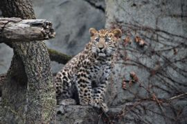 США: дебют амурского леопарда