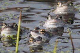 Крупнейшая река Австралии кишит лягушками