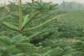 Поставщики рождественских деревьев Дании терпят убытки