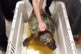 В Техасе спасли 24-килограммовую черепаху, застрявшую в трубе