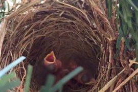 Птица вывела птенцов на новогодней ели