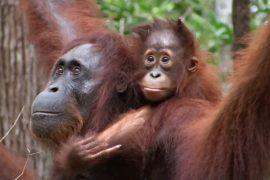 Орангутанов в Индонезии защитит туризм