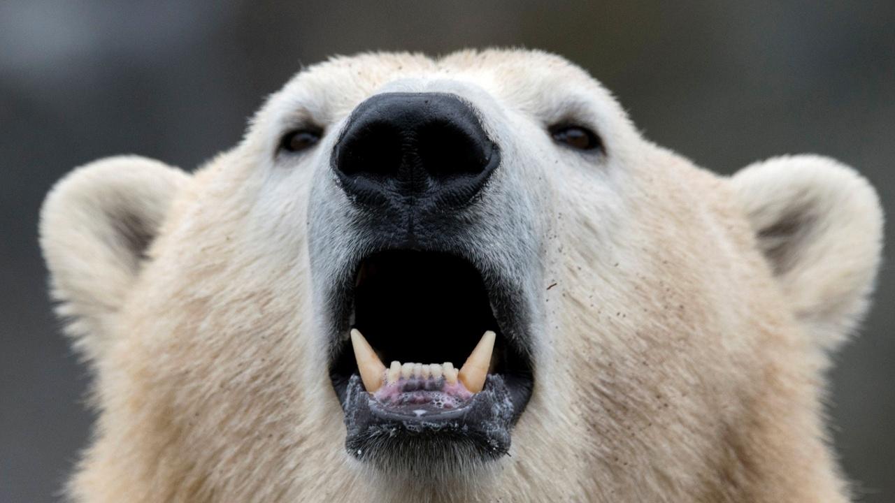 Белых медведей может стать на треть меньше