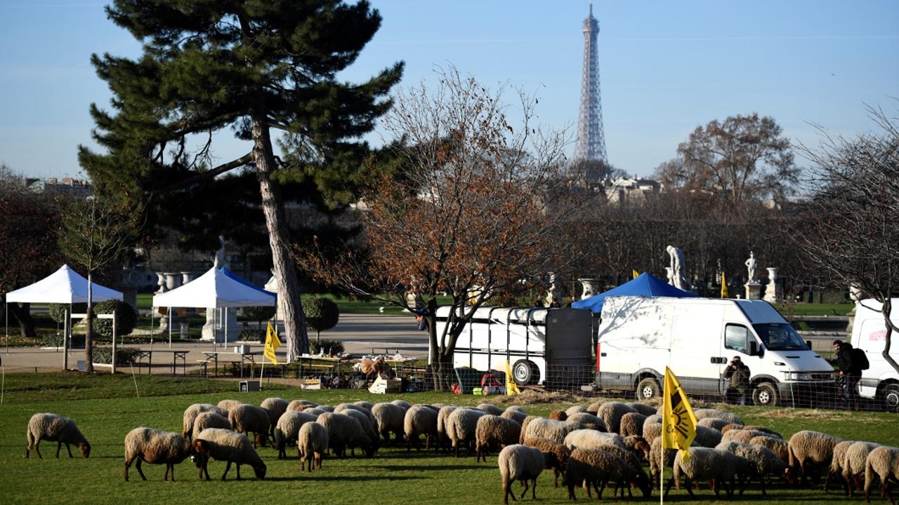 Фермеры Франции протестуют против засилья волков