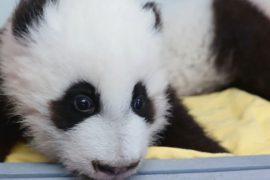 В зоопарке Атланты выбрали имена двум маленьким пандам