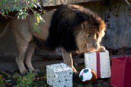 Тигры и сурикаты получили рождественские подарки