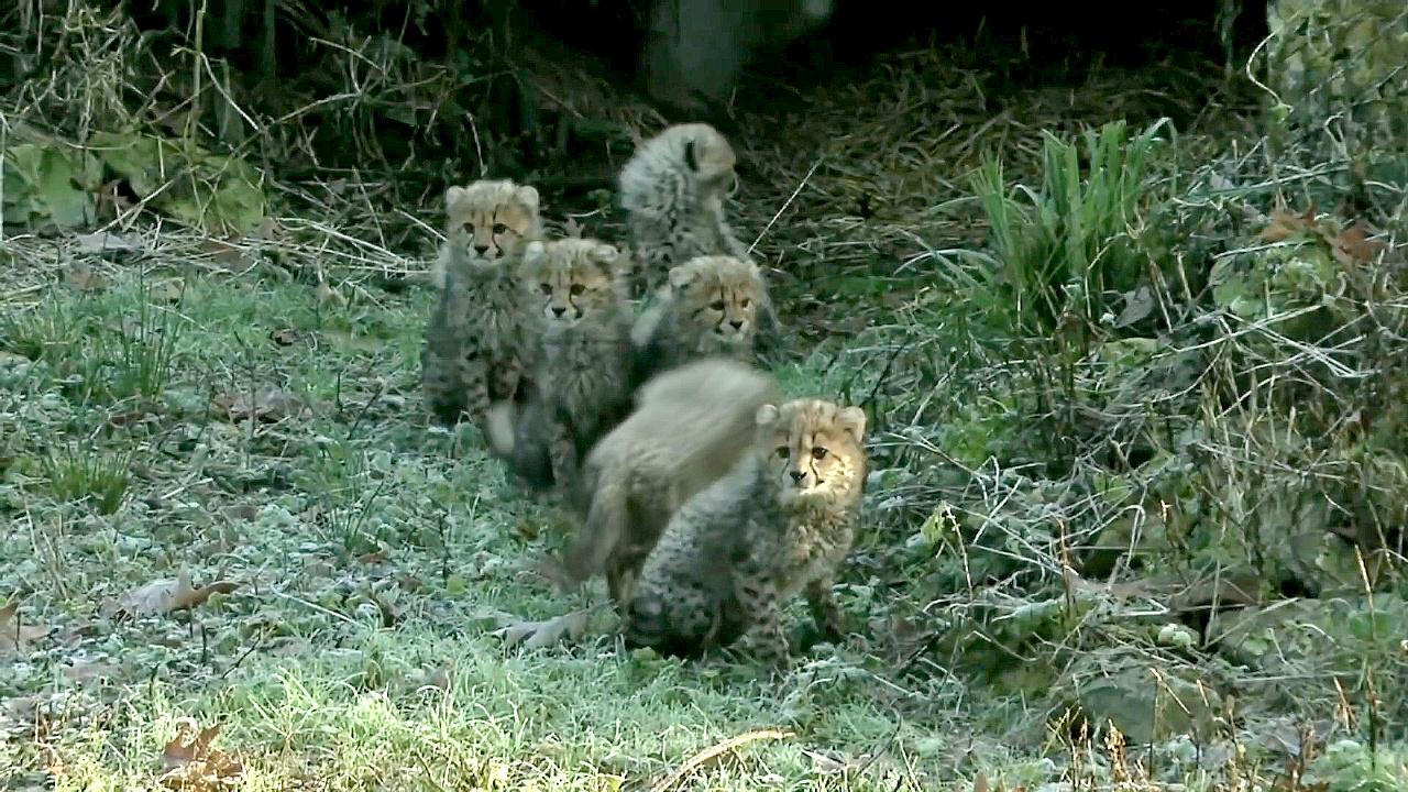 Детёныши гепарда дебютировали в нидерландском зоопарке