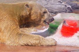 Белый медведь в зоопарке Сингапура отмечает 26-летие