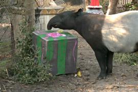 Тигров, тапиров и носорогов поздравили с Рождеством