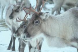 Приложение предупреждает об оленях на дороге