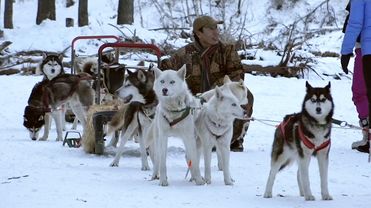 Катание на ездовых собаках набирает популярность в Монголии