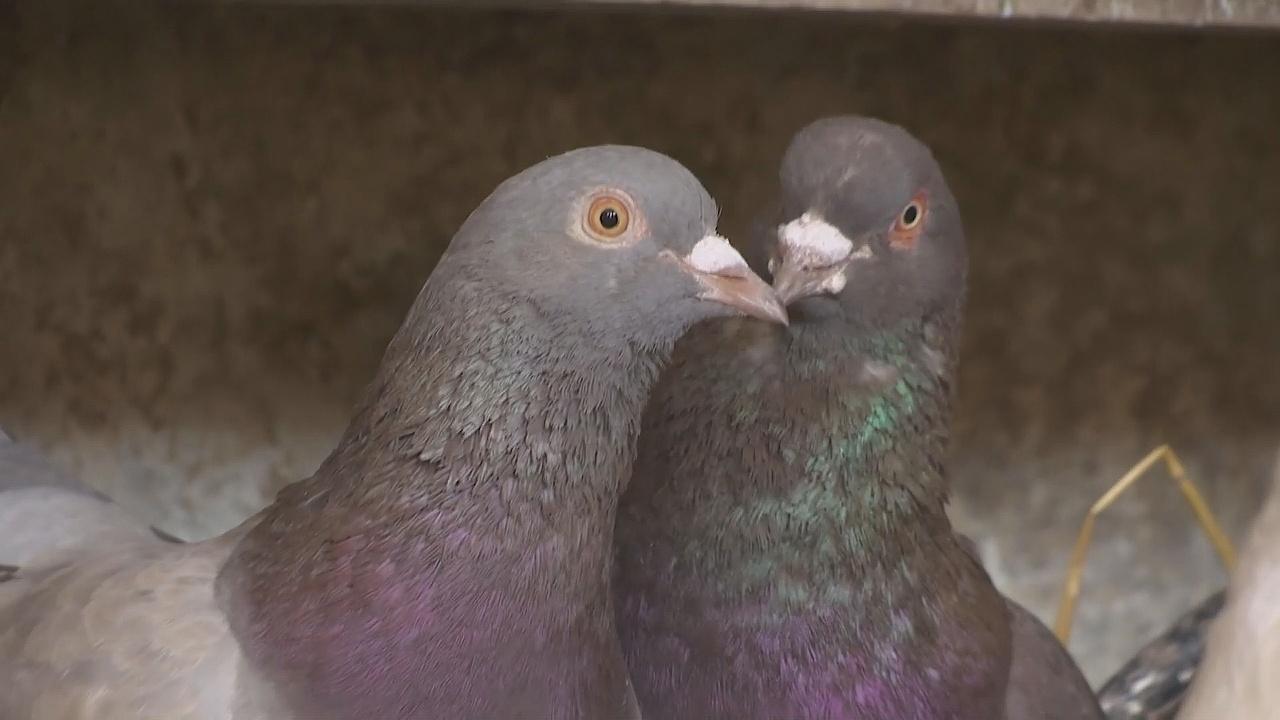 В Бельгии временно разрешили охоту на голубей
