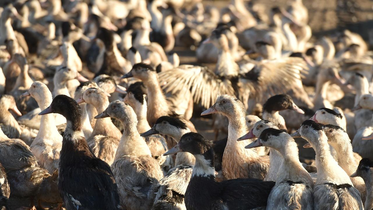 Во Франции уничтожат 1,3 млн уток из-за птичьего гриппа