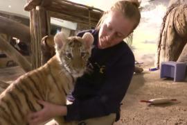 Тигрёнка растят без матери в зоопарке Милуоки