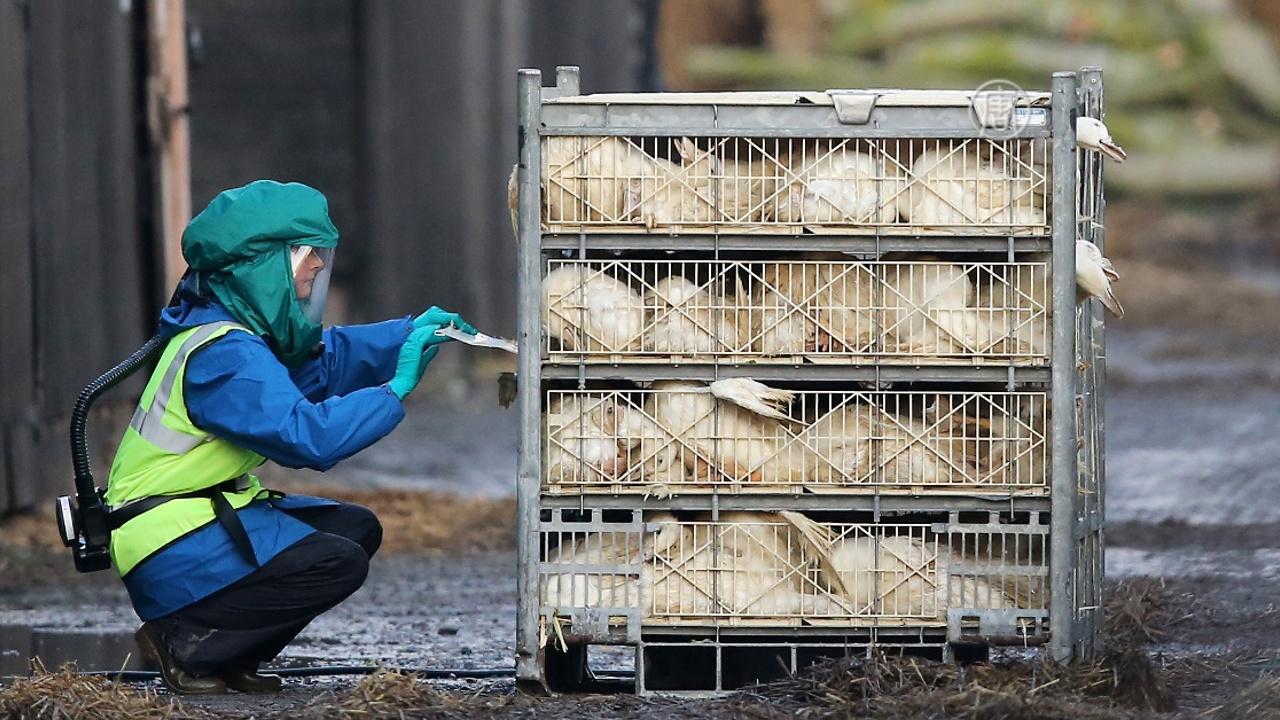 Эпидемии птичьего гриппа в Европе не будут закономерностью