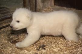 В зоопарке Берлина узнали пол белого медвежонка