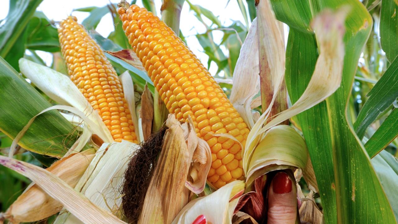 Мексика будет импортировать больше кукурузы из США