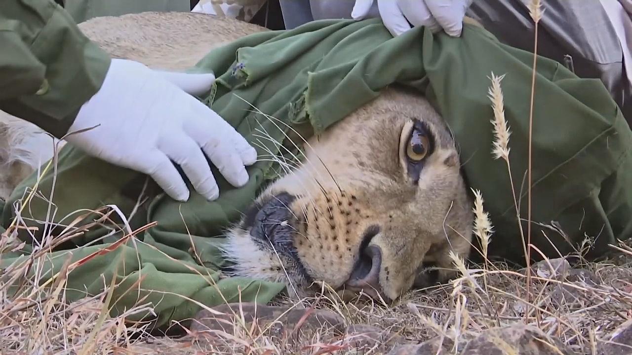 В Кении львам надевают ошейники с GPS-трекером