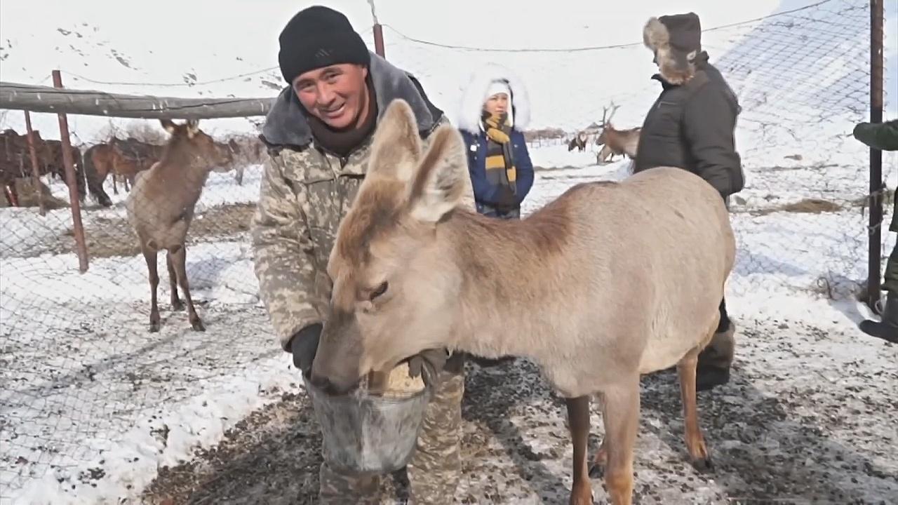 Оленей на снежных склонах Кыргызстана спасают от голода