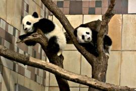 Пандам-близнецам в венском зоопарке исполнилось полгода