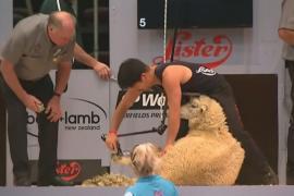 В искусстве стрижки овец соревнуются в Новой Зеландии