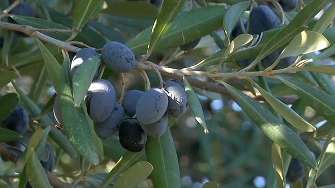 Производство оливкового масла в Алжире под угрозой из-за засухи