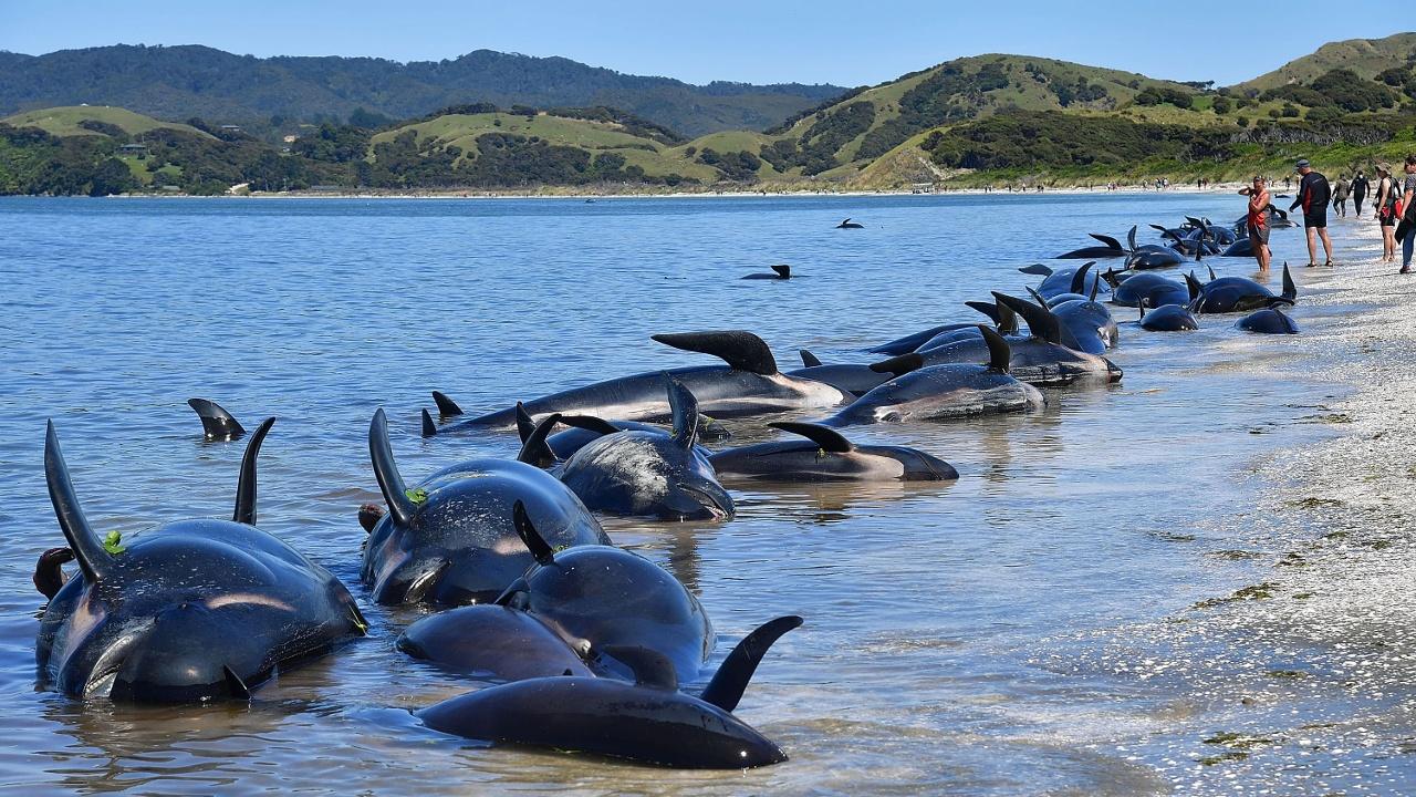 Туши 300 дельфинов могут взорваться на новозеландском берегу