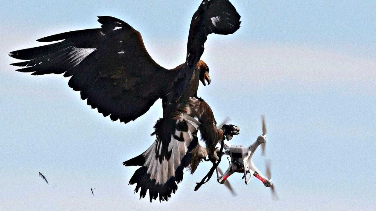 Во Франции орлов учат перехватывать дроны