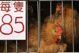 Китаю грозит худшая вспышка птичьего гриппа H7N9